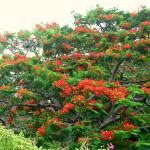 Flamboyant Tree Saba
