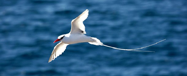 Tropic Bird Saba Dutch Caribbean