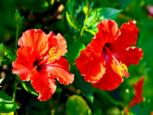 Hibiscus Cottage - For Rent - Abert & Michael - Saba Island Properties