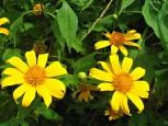 Saba Yellow Flowers