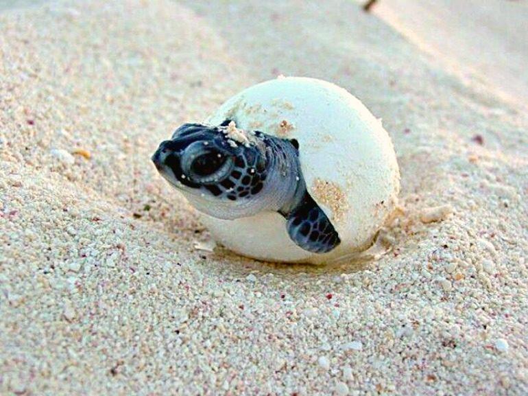 Statia Baby Sea Turtle