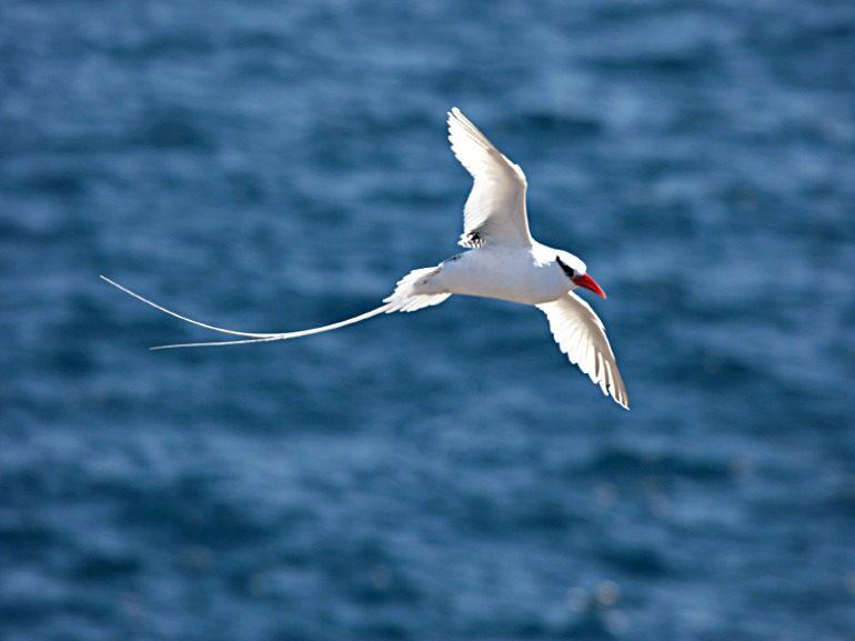 Red Billed Caribbean Tropic Bird