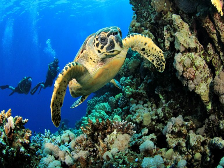 Caribbean Sea Turtle