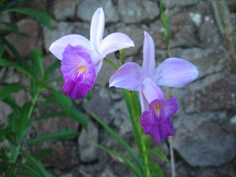 Champagne Cottage - Orchids - Albert & Michael - Saba Island Properties